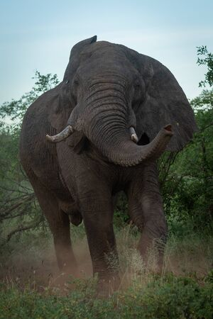 Male African bush elephant shakes his head Standard-Bild - 140095026