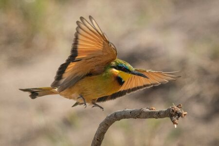 Little bee-eater about to land on stump
