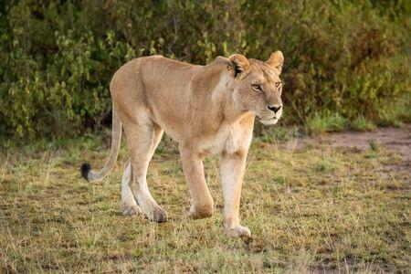 Lioness walks past bush on savannah