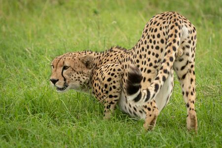 Male cheetah crouches in grass looking left