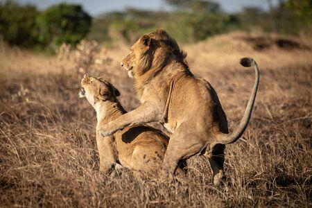 Lions mate in burnt grass at dusk Foto de archivo