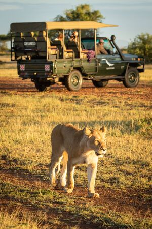 Lioness walks past truck on dirt track