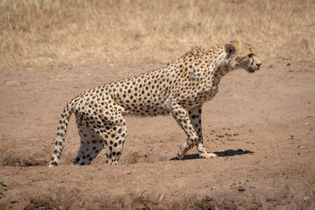Male cheetah walks out of dirt gully