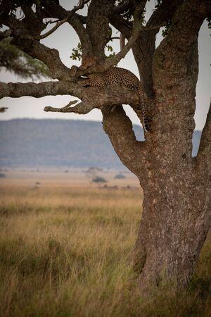 Male leopard lies sleepily on tree branch