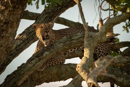 Male leopard looking up from tree branch