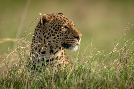 Male leopard head poking out of grass