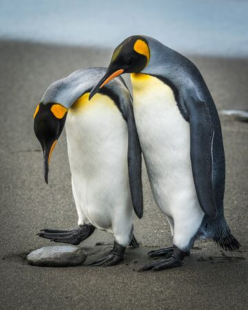 A king penguin looks down and wonders what's lying on the beach: is it an egg to nest on or just a rock to step over Another penguin is having a look, too, and they both have black and orange heads, white breasts with orange patches at the throat, grey backs and flippers and black feet.