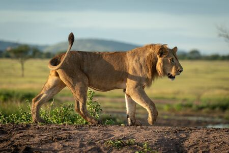 Male lion crossing dirt mound in profile