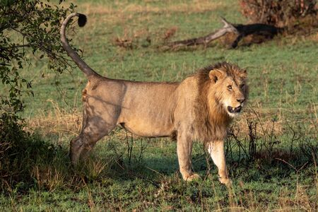 Male lion beside bush with tail up Stock Photo