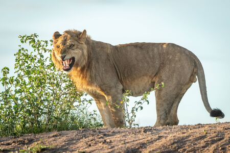 Male lion stands baring teeth on bank Standard-Bild - 142541423