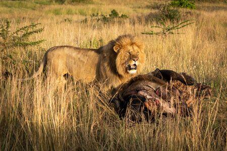 Male lion stands by kill in grass Foto de archivo