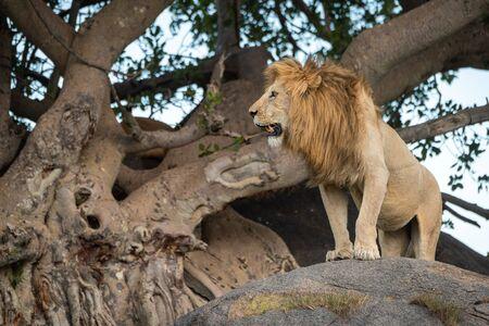 Male lion stands on rock looking left Standard-Bild - 142541425