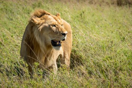 Male lion stands looking right in grass Standard-Bild - 142541427
