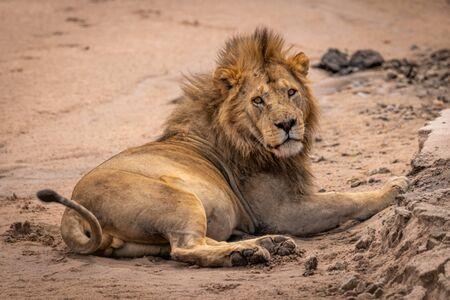 Male lion lies on sand eyeing camera Standard-Bild - 142541432