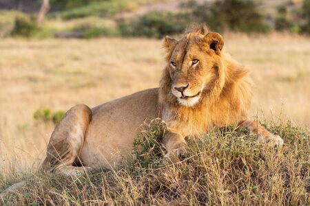 Male lion lies on mound with catchlight Standard-Bild - 142541433