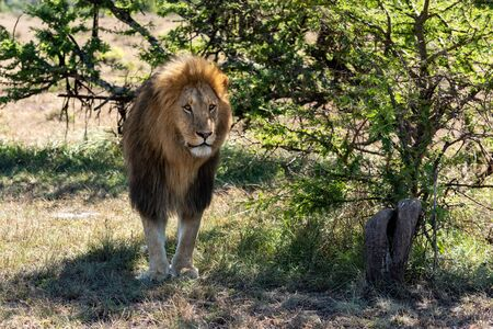 Male lion stands in shade looking ahead Standard-Bild - 142541434