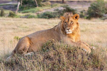 Male lion lying on mound in grass Standard-Bild - 142541436