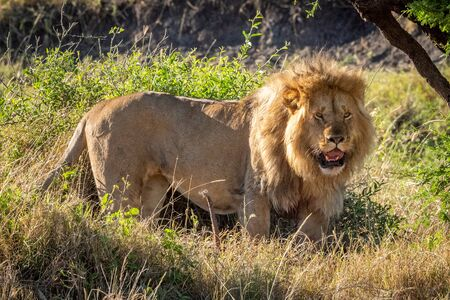 Male lion stands in bushes opening mouth Standard-Bild - 142541439