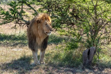 Male lion stands in shade looking right Standard-Bild - 142541443