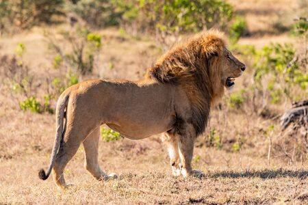 Male lion standing in profile on grass