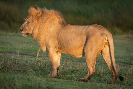 Male lion stands in profile at dawn Standard-Bild - 142541461