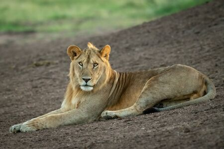 Male lion lies on slope watching camera Standard-Bild - 142541462