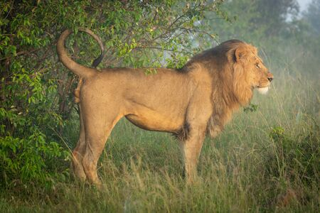 Male lion marking his territory by bush
