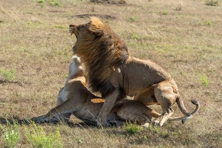 Male lion roars after mating with female