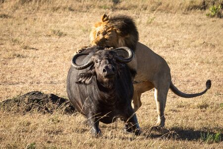 Male lion pulls down buffalo from behind Stock Photo