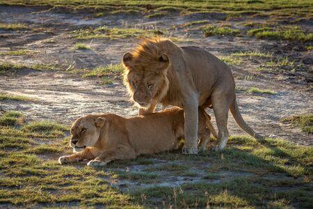 Male lion mates with lioness on savannah Foto de archivo