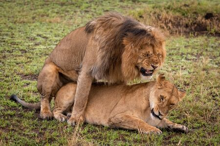 Male lion screws up face while mating