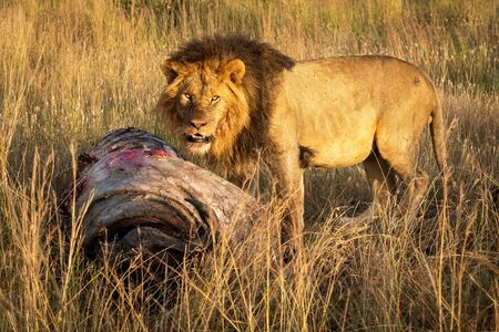 Male lion standing with kill watches camera