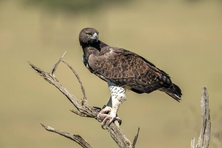 Martial eagle looks down from dead tree