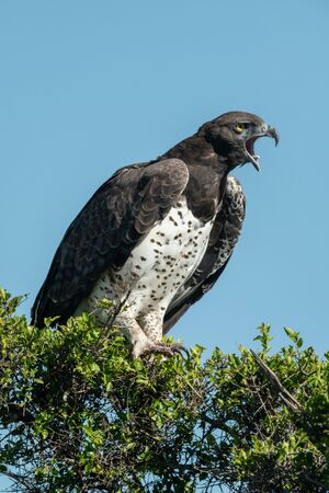 Martial eagle in leafy bush yawns widely
