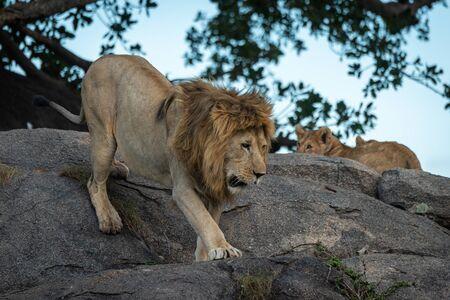 Male lion walks down rock past cubs Standard-Bild - 142538209