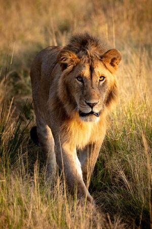 Male lion walking towards camera along track Standard-Bild - 142538217