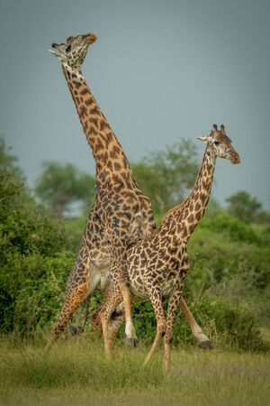 Male Masai giraffe mounts female by trees Standard-Bild - 142538283