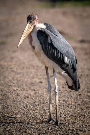 Marabou stork stands on pebbles facing camera