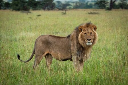 Male lion stands watching camera in grass