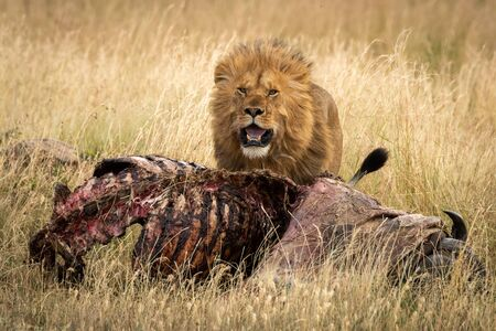 Male lion with windblown mane beside carcase Standard-Bild - 142538295