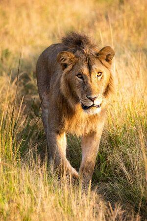 Male lion walking towards camera on track Standard-Bild - 142538623