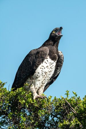 Martial eagle lifts head to yawn widely Standard-Bild - 142538647