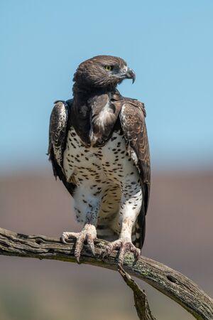 Martial eagle looks right from dead branch Standard-Bild - 142538641