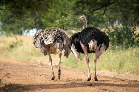 Male ostrich beside female with missing head Standard-Bild - 142538644
