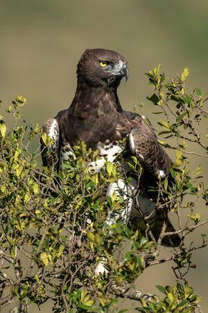Martial eagle in leafy bush with catchlight Standard-Bild - 142538634