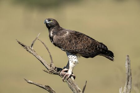 Martial eagle looks up from dead tree Standard-Bild - 142538635