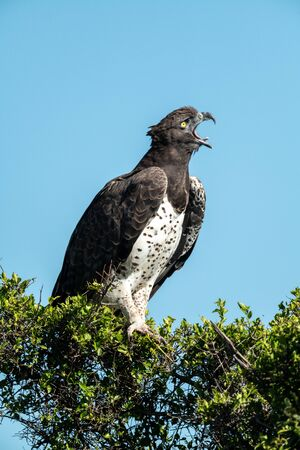 Martial eagle opens beak to yawn widely