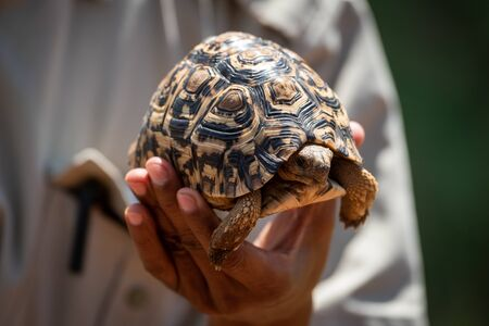 Man holds leopard tortoise in left hand Standard-Bild - 142538761