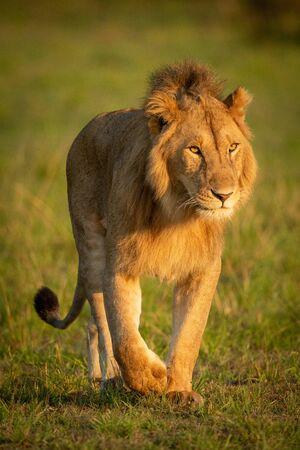 Male lion walks towards camera in grassland Standard-Bild - 142538770