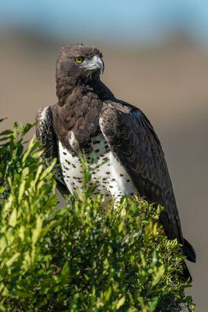 Martial eagle in leafy bush looking right Standard-Bild - 142538771
